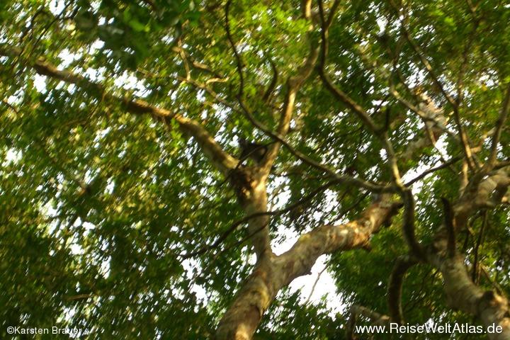 Affen im Baum