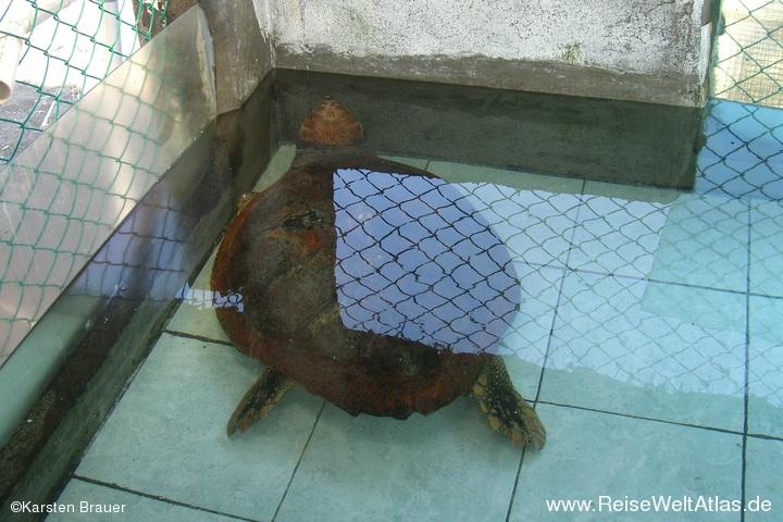 Armlose Schildkröte