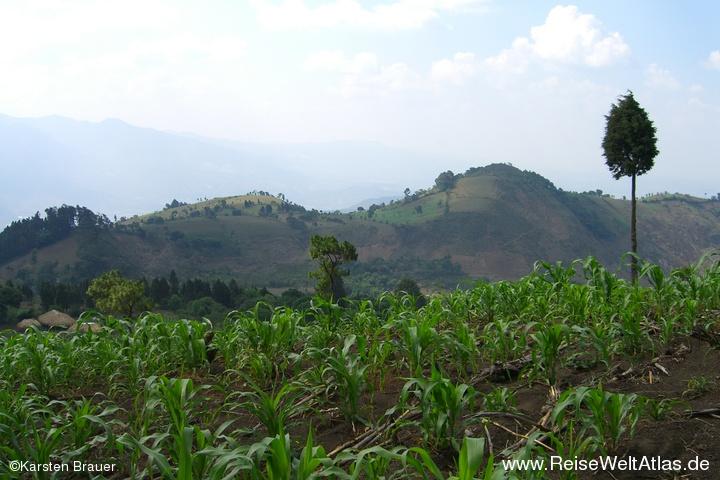 Maislandschaft
